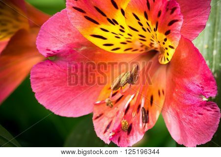 Yellow And Red Orchid With Your Stamens