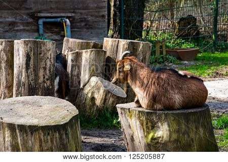 Brown dwarf goat sitting in early spring