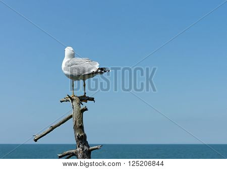 Seagull are sitting on dry tree near sea.Small depth of field