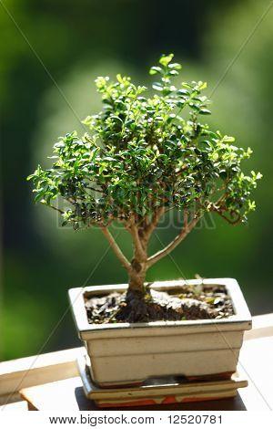 bonsai on green grass