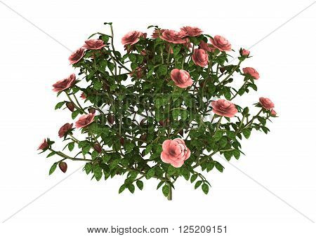 3D illustration of a pink rose bush isolated on white background