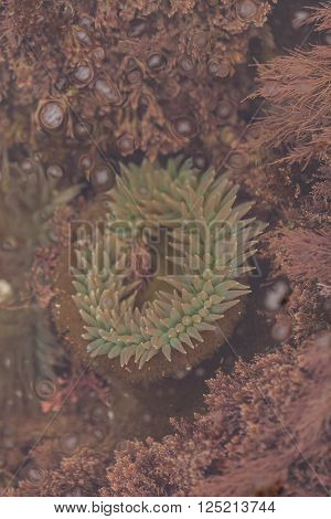 California sea anemone, Anthopleura elegantissima, is also called the aggregating anemone and the clonal anemone