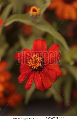 Red orange cosmos daisy blooms in a botanical garden in Laguna Beach, Southern California, United States ** Note: Shallow depth of field