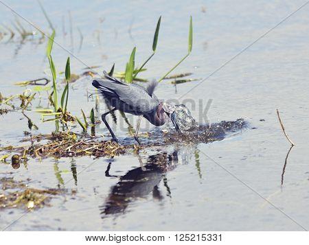 Little Blue Heron Catches Fish