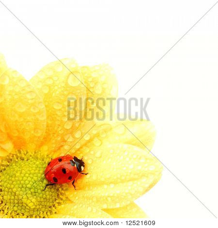 Mariquita en flor amarilla