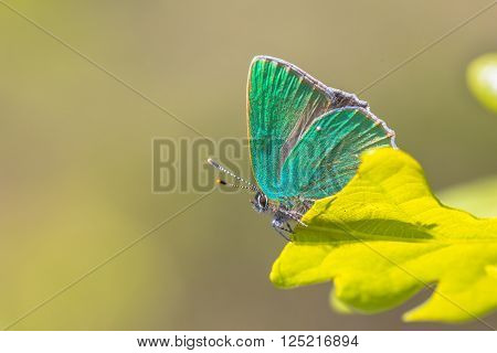 Green Hairstreak Oak Leaf