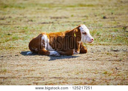 cute young brown and white calf lies in straw and looks alert