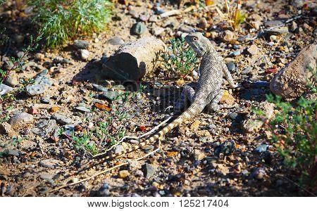 Trapelus sanguinolentus, lizard in Kazakhstan steppe, close up