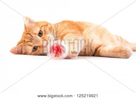 Orange tabby cat playing with a red fuzzy ball, focus on his attentive eyes, on white background