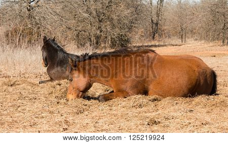 Two horses lying down asleep in sunshine in winter pasture
