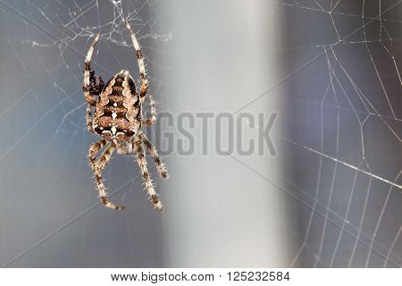 Spider spinning - a magnificent cross spider in its web