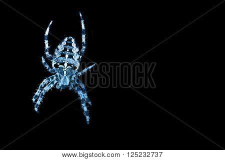 Blue colored spider in spiders - A splendid garden spider against black background