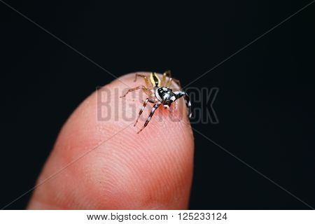 Close-up Spider hold on the human fingertip over the dark background