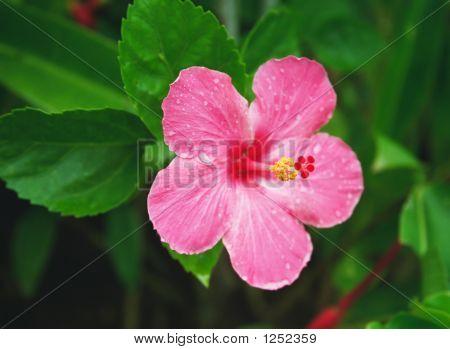 tropische hibiscus
