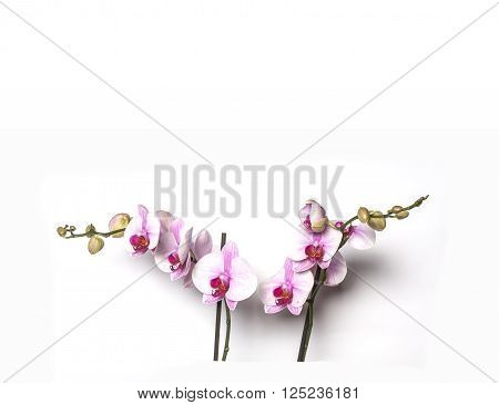Branch with flowers of white and pink orchid phalaenopsis isolated on a white background