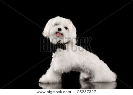 White Maltese Dog Sitting and Happy Looking in Camera isolated on Black background Profile view