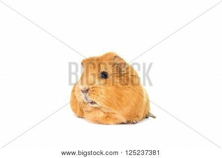 a guinea pig looks on a white background