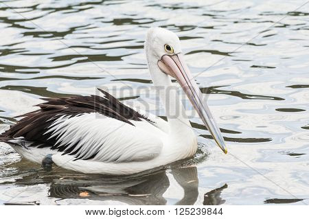 Australian pelican (Pelecanus conspicillatus) seen in the see of Eastern Australia.