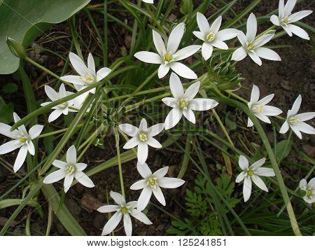 Star of Bethlehem flowers, small white flowers