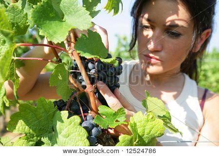 Uva de mulher colheita safra de vinho