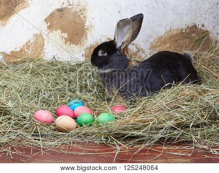 Beautiful bunny is lying in the manger next to colored eggs