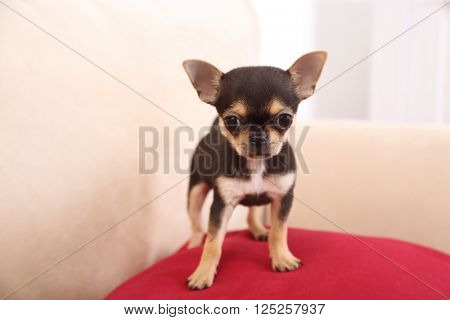 Small chihuahua puppy on the red pillow
