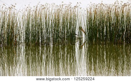 A Pelican hides among the reed beds on a calm lake