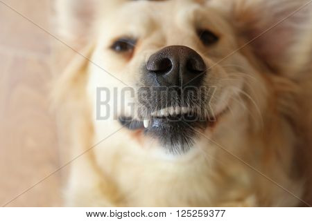 Grin of merry golden retriever, close up