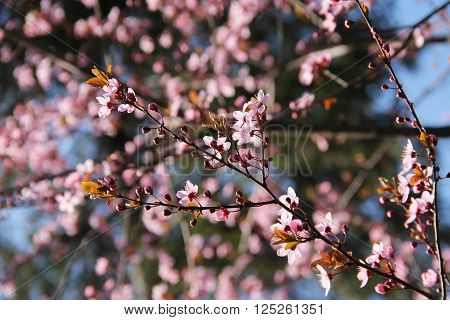 twigs of a cherry tree with beautiful pink blooms