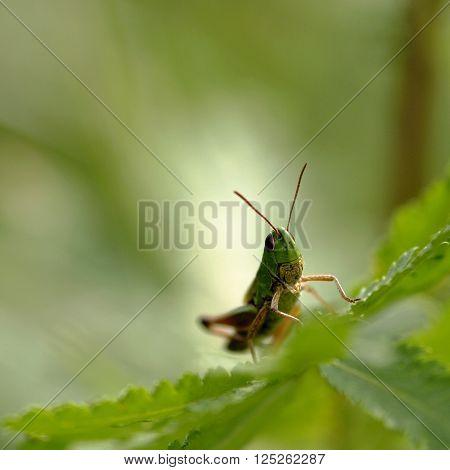 Grasshopper sitting on a leaf in a summer meadow.