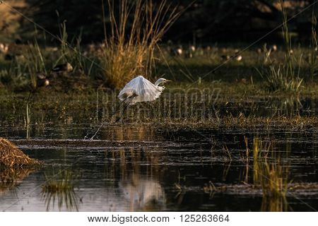 Little Egret taking off with a nice reflection in the lake. Photographed at golden hour light. ** Note: Soft Focus at 100%, best at smaller sizes