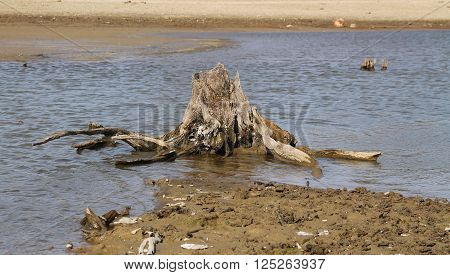 stump of dead tree with revealed roots on the bottom of drying pond