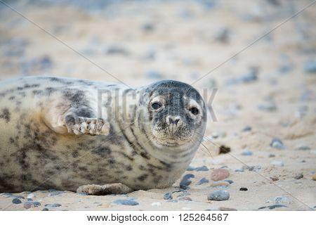 Young Atlantic Grey Seal Portrait