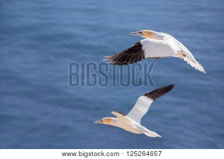 Northern gannet (Sula bassana), beautiful flying sea bird with blue sea water in the background, Helgoland island, Germany