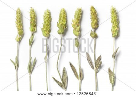 Seven dried herbs stems of a mountain tea Sideritis Scardica isolated on white background.