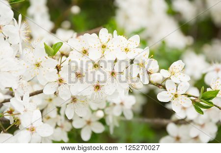 White flowers in a bird cherry inflorescence