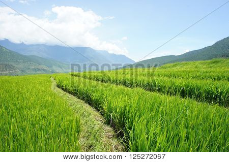 Rice paddy fields in Bhutan, blue sky and mountain set as a background.
