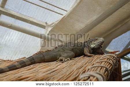 The green iguana is an herbivore and belongs to the family of Iguanidae (Iguana iguana). He is meeting a red butterfly.
