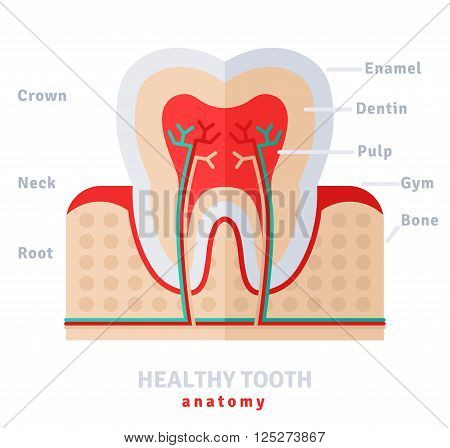 Healthy white tooth anatomy flat icon concept. Vector illustration. Pulp and nerves, strong enamel,  gums and bone.