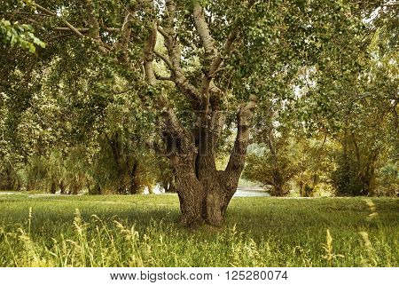 big tree in forest, glade with grass, beautiful summer landscape at day