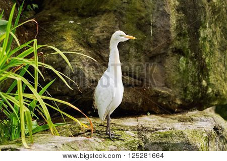 The cattle egret (Bubulcus ibis), a cosmopolitan species of heron. Malaysia.