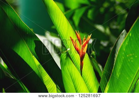 Natural tropical background with Strelitzia flower and bright green leaves.