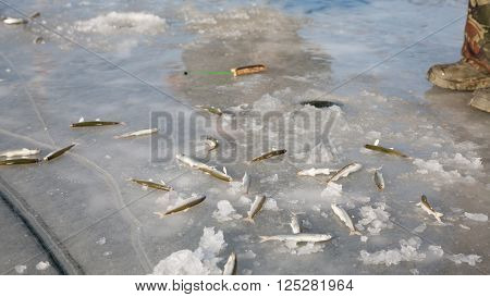 Smelt is caught on the ice. Primorsky Krai, Far East Russia.