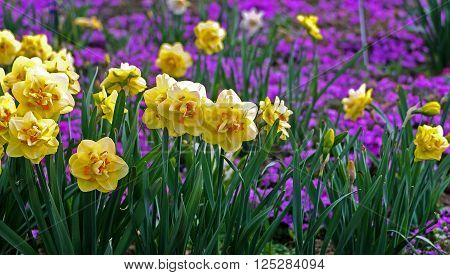 yellow daffodils in the meadow among the flowers of lilac