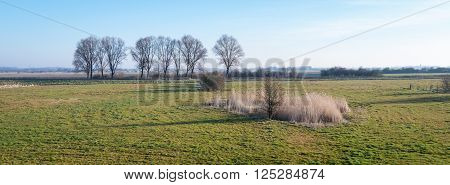 Dutch natural landscape wirh yellowed reeds in the foreground and a row of leafless trees in the background