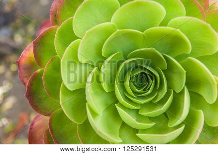 Closeup of unique green cabbage shaped flower.
