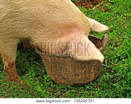 pig in the grass with his head in a bucket