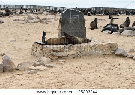 CAPE CROSS NAMIBIA - JAN 31 2016: Cape fur seal on the monument in memory of Peter Stephen Gouws. Cape Cross is biggest seal colony in Namibia