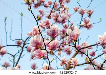 Magnolia tree blossom branch against blue sky. Magnolia flowers in spring time. Pink Magnolia or Tulip tree in botanical garden.