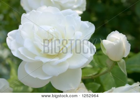 White Rose With Bud